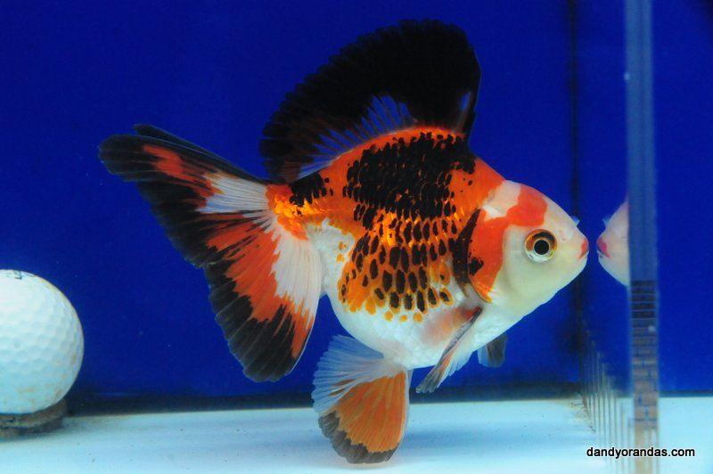 Tri Color Broadtail Ryukin Dandyorandas Com Ryukin Goldfish Goldfish Cool Fish