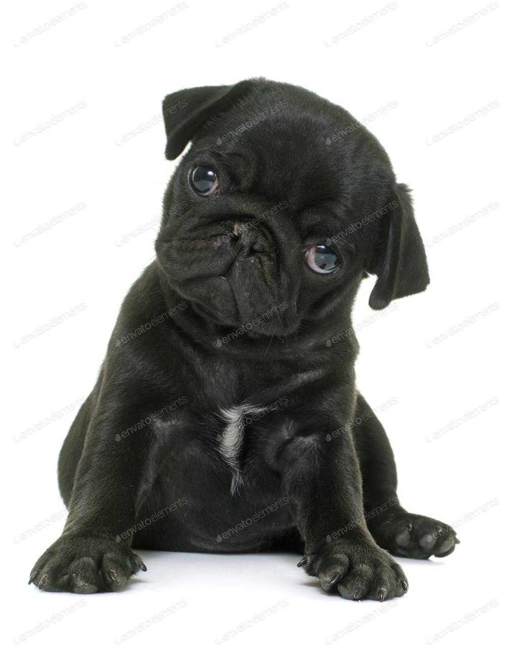 Puppy Black Pug By Cynoclub S Photos Ad Sponsored Puppy