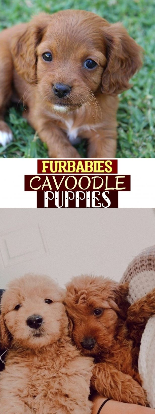 Furbabies Cavoodle Puppies Furbabies Cavoodle Welpen Puppies Pets Fur Babies