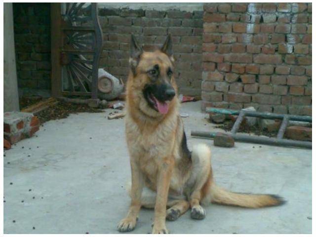 German Shepherd Dog For Sale Gujranwala German Shepherd Dogs Shepherd Dog Dogs For Sale