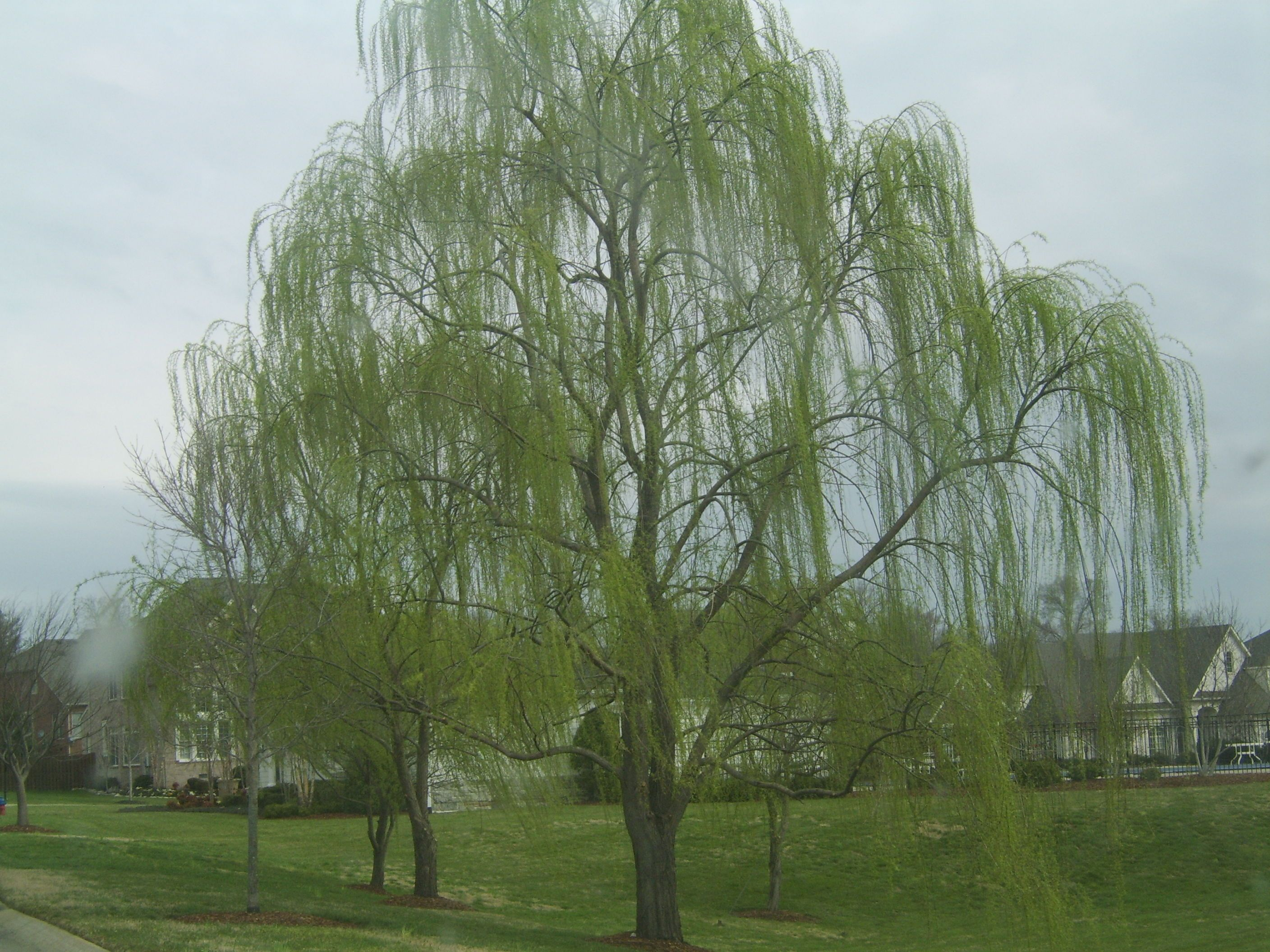 cherry willow....Ben wants this in our yard by the river. | Dream ...