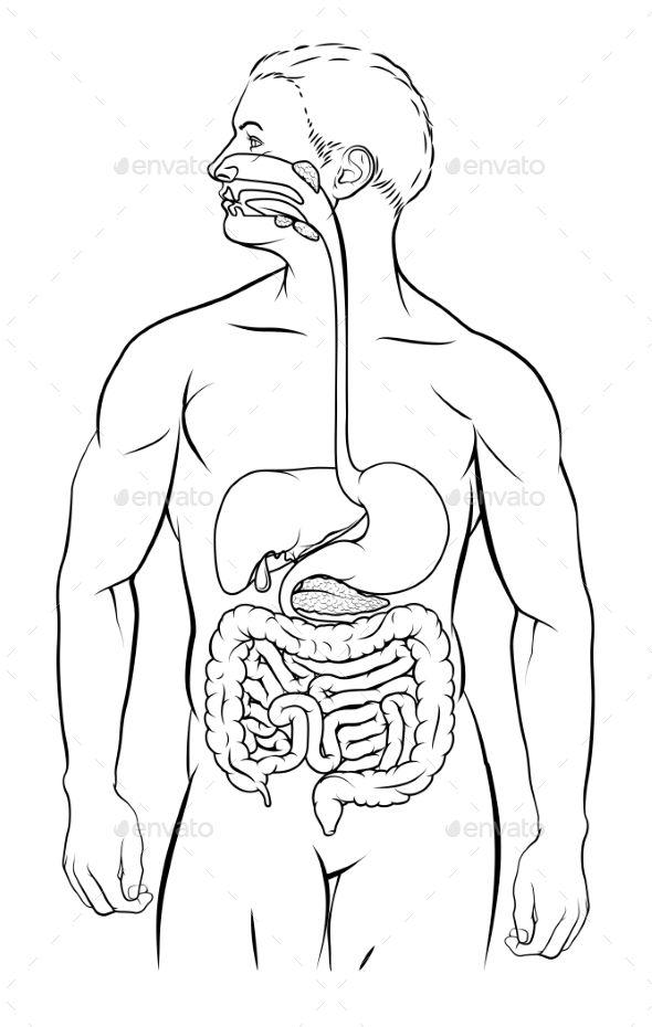 Digestive System Diagram Unlabeled Koibana Info Digestive System Diagram Human Digestive System Digestive System