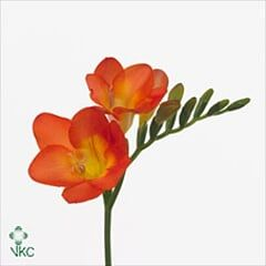 Freesia-orange - OneDrive