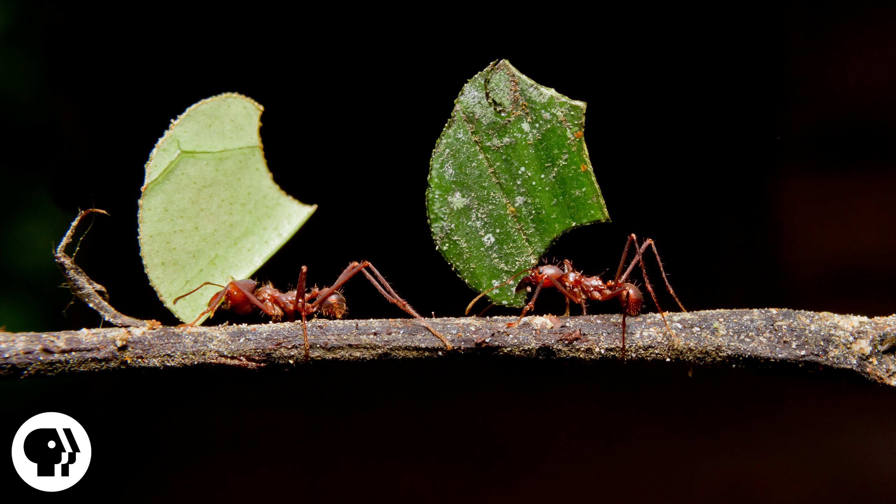 where are the ants carrying all those leaves deep look