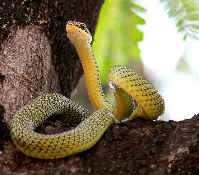 Golden Tree Snake Chrysopelea Ornata Snake Facts Snake Pretty Snakes