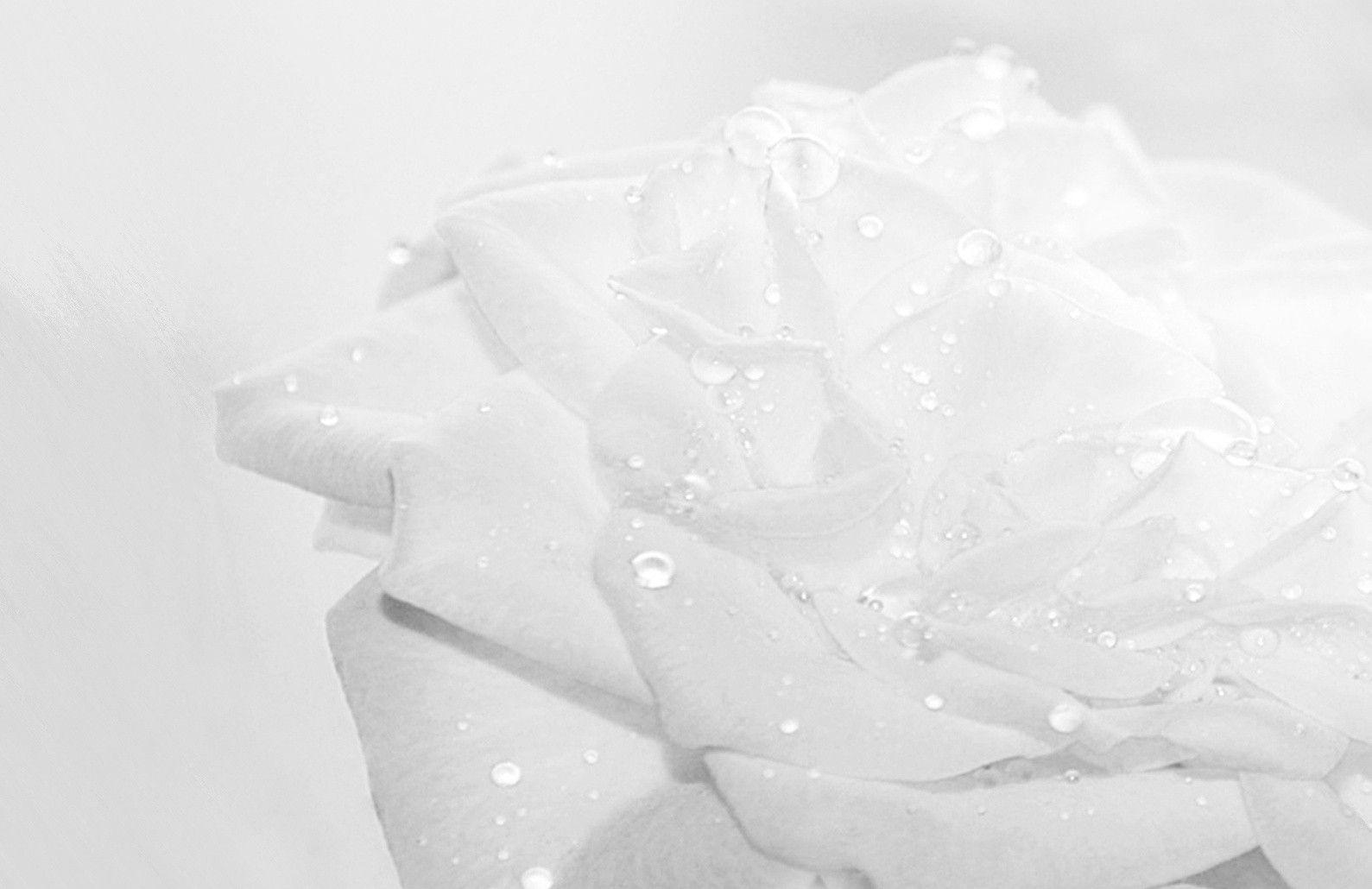 Porcelain Roses White Rose Flower Wallpaper Macbook Rose Flower Wallpaper Rose Wallpaper Flower Background Iphone