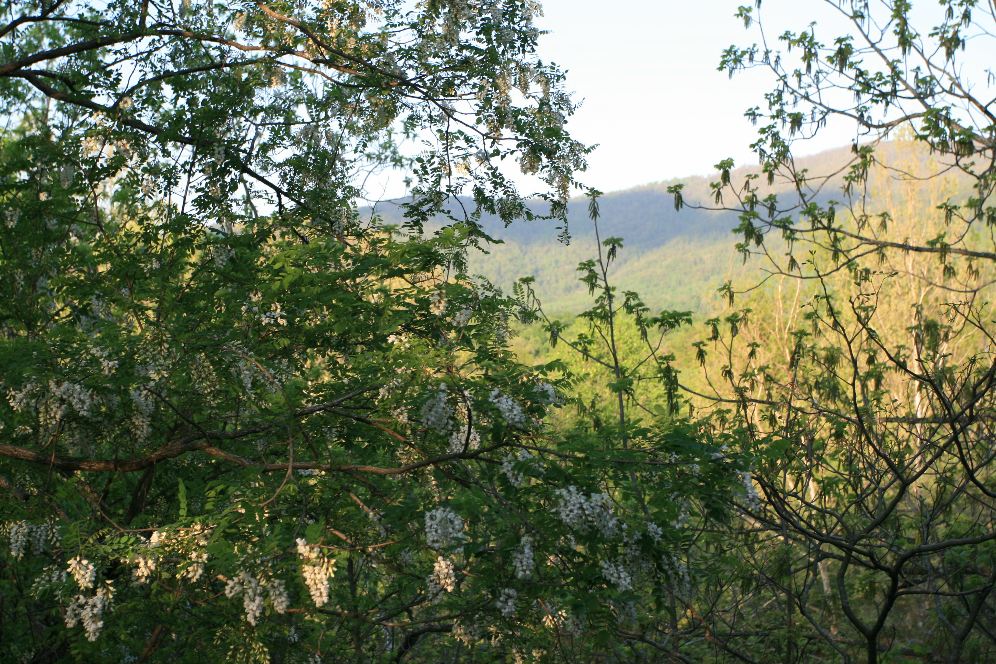 Black Locust Tree, A Native Virginia Tree Is An Ancient