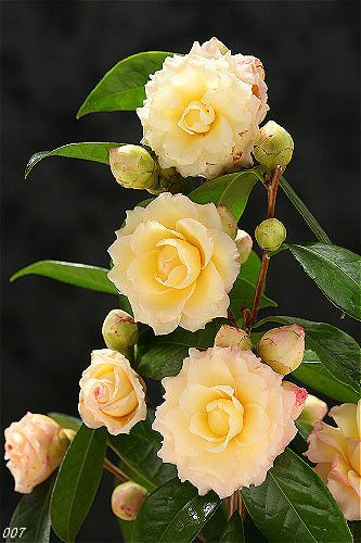 Pin By Lori Sims On Camellia Flowers Amazing Flowers Beautiful Flowers Love Flowers
