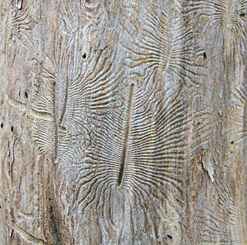 bark-beetle1.jpg (350×347)