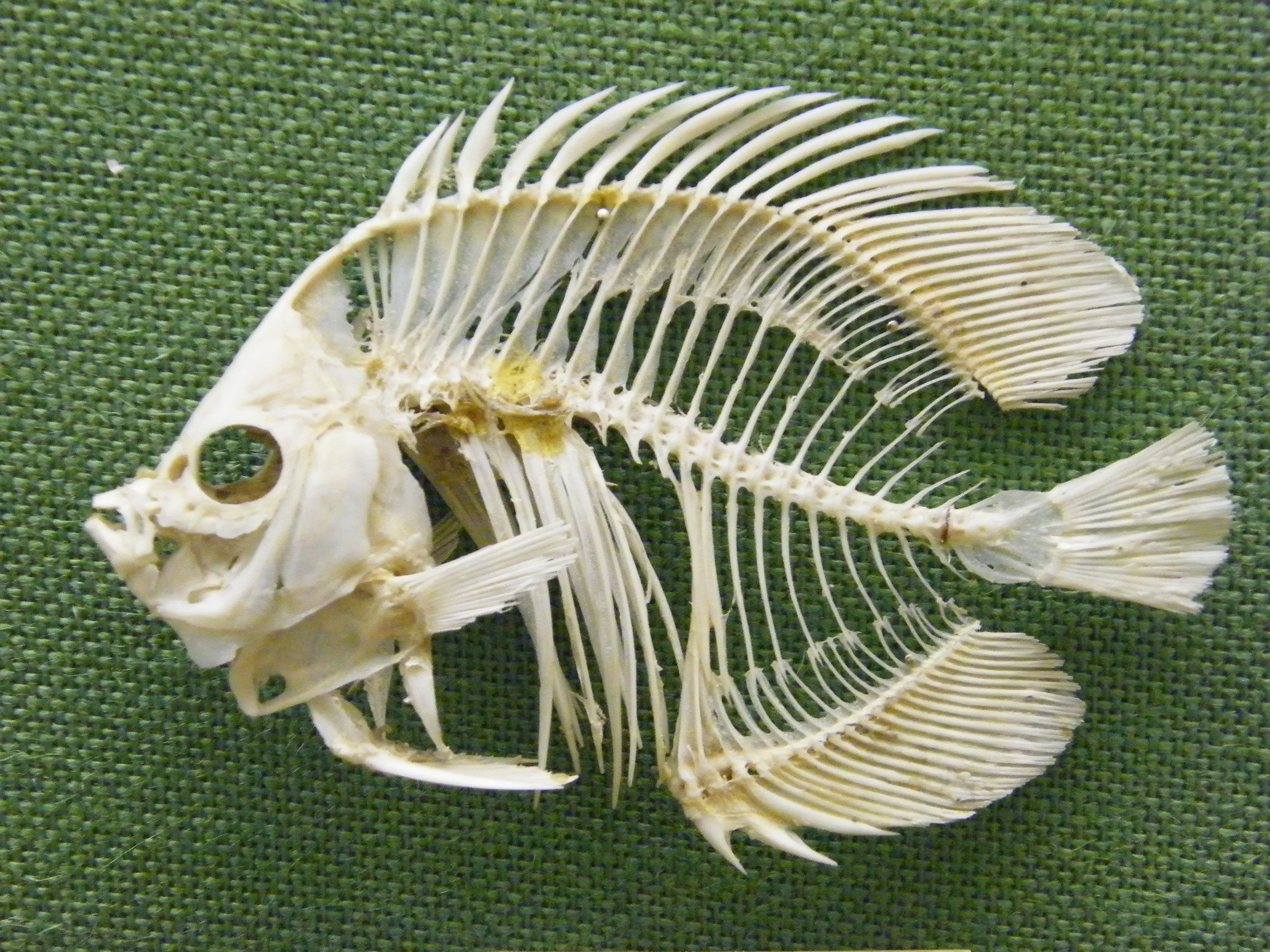northern pike skeleton - Google Search | Macabre | Pinterest ...