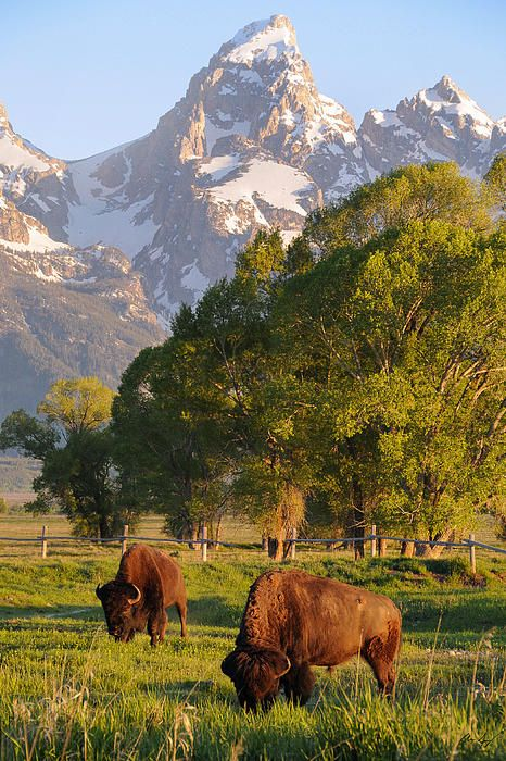 Yellowstone National Park Rv Parks >> Bison and Grand Teton, Wyoming #coupon code nicesup123 ...