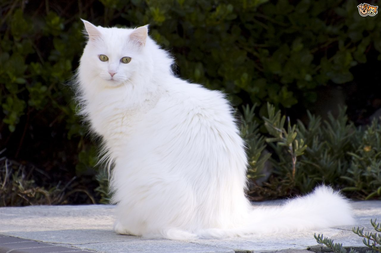 The Turkish Angora Cat Breed Information And Facts Including Buying Advice Photos Average Costs To Own And H Turkish Angora Cat Angora Cats Bengal Cat Facts