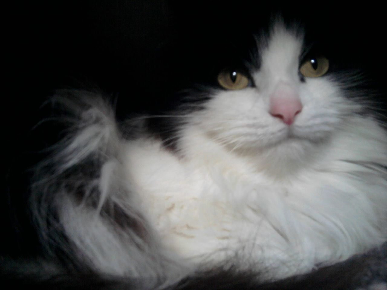 Fluffy White Cats For Sale Hd Black & white Cats