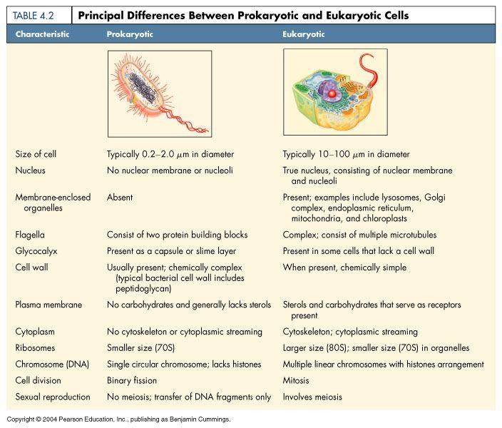 The Differences Between Prokaryotic And Eukaryotic Cells