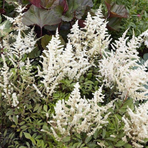 Pflanzen Kolle Prachtspiere Weiss 11 Cm Topf Astilben Begeistern Mit Zarter Blutenpracht Und Anspruchslosigkeit Bodenvase Dekorieren Prachtspiere Pflanzen