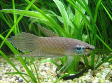 Betta Fusca. Very pricey fish. (With images) | Betta ...