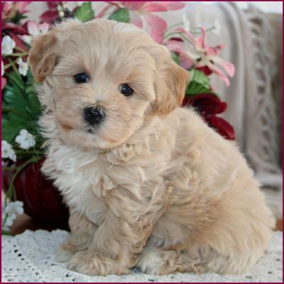 Maltipoo Puppies 4 Sale Apricot Puppy Dog Breeders Iowa Dogs