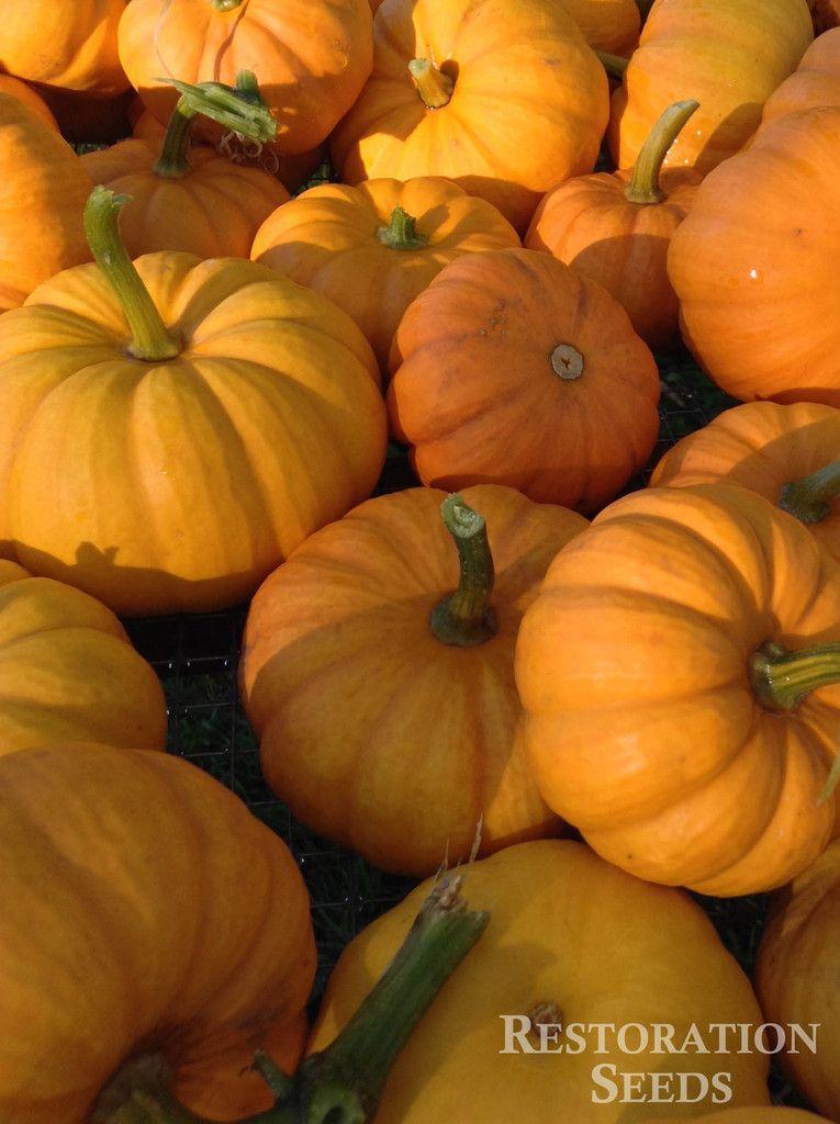 Jack Be Little pumpkin | RESTORATION SEEDS