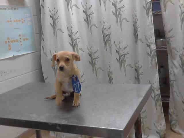 No Longer Listed Texas Twinkie Id A396927 Is A 4mos Chi Mix Puppy At The Shelter Since 2 4 14 In Need Of A Loving Adopter Pets Dog Adoption Adoption