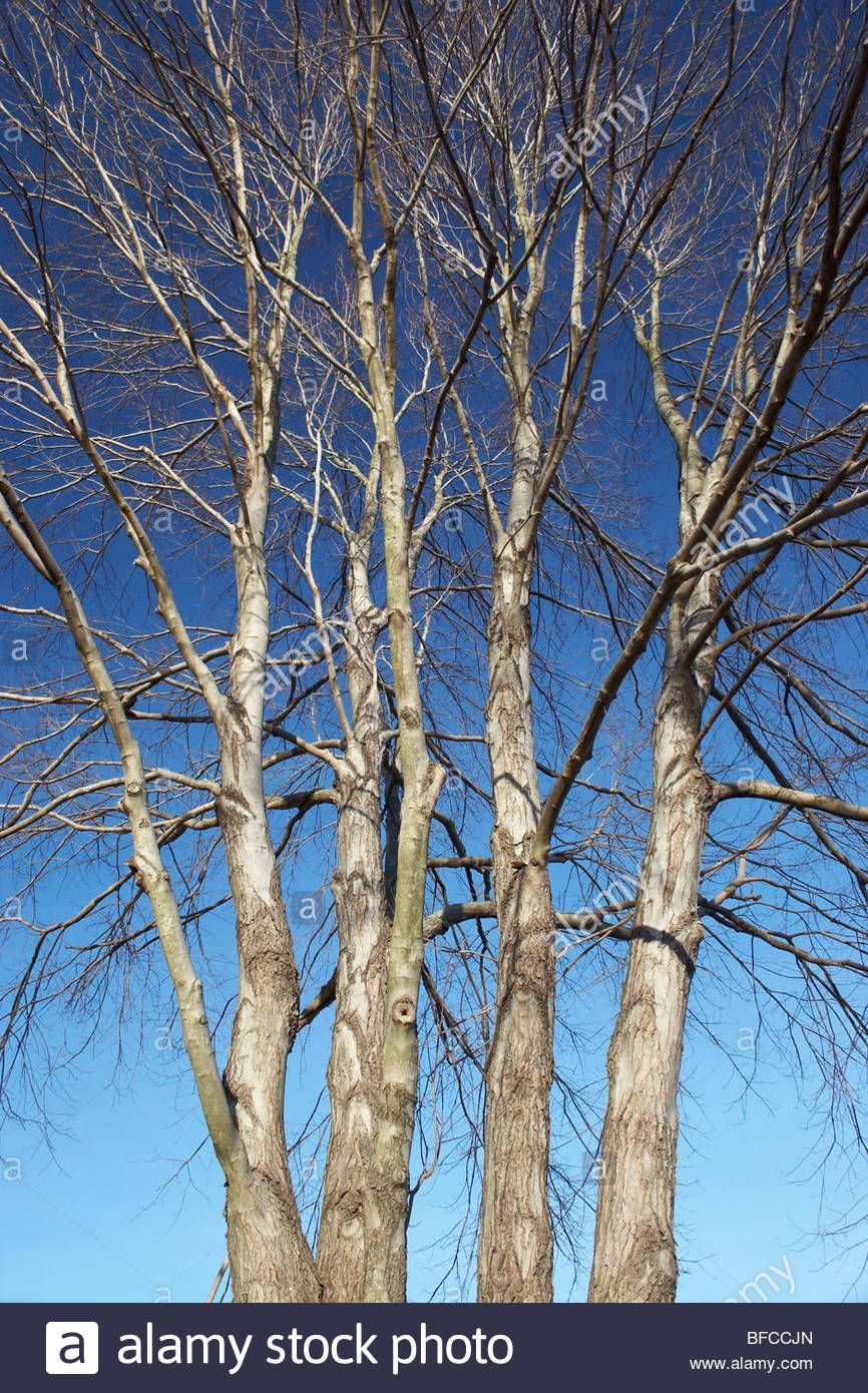 The Bare Branches Of A Stand Of Maple Trees In Winter Stock Photo Winter Trees Tree Maple Tree