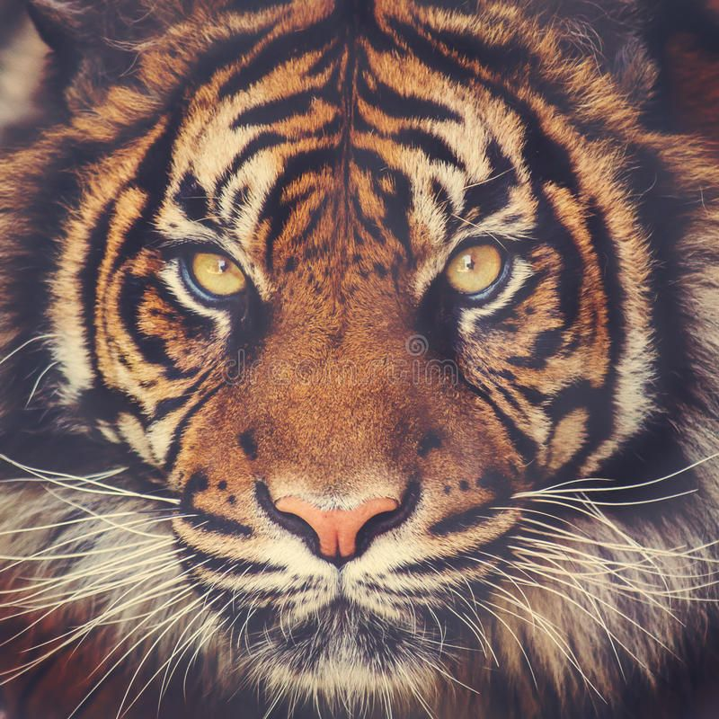 Tiger Face Images