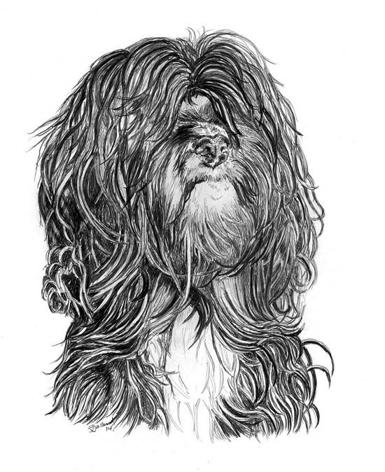 Tibetan Terrier Pencil Drawing By J Jalland Gift Available From Www Snailprint Co Uk Tibetan Terrier Dog Sketch Dog Show