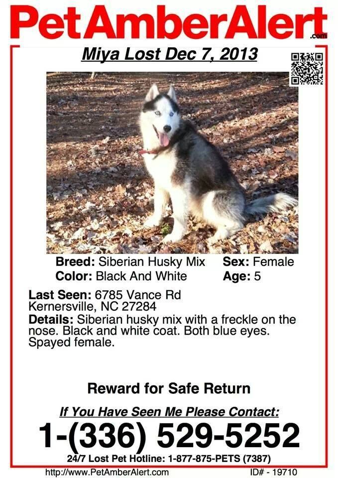 PET #AMBER #ALERT #Lost black white female #Siberian #Husky - lost pet poster