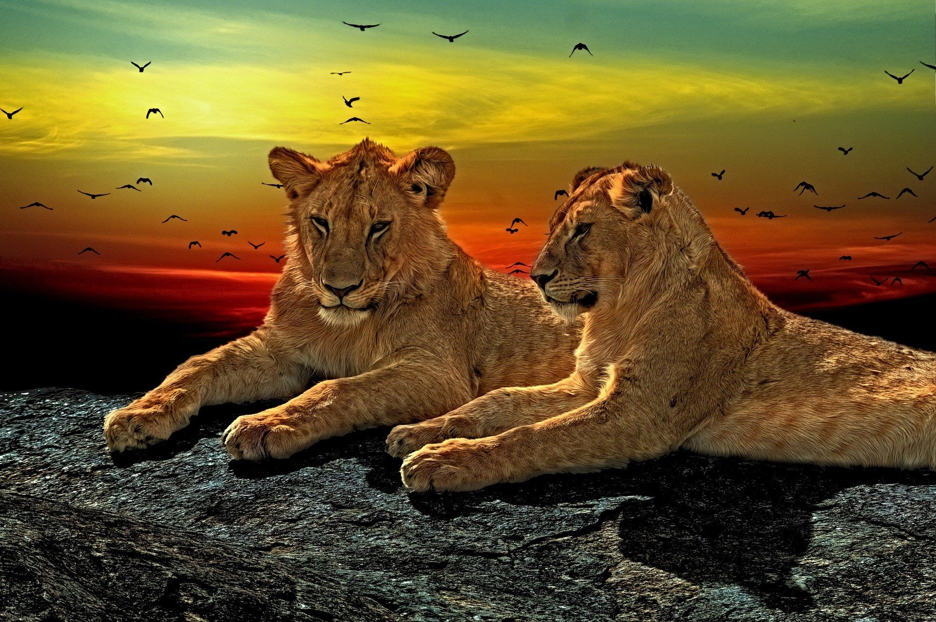 X free download lion hueputalo pinterest lions and
