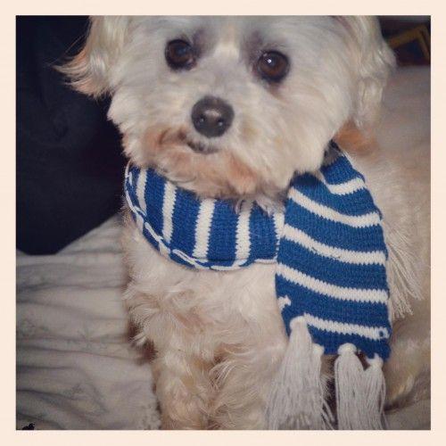 Lost Maltese Dog Davistown Centralcoast Nsw 2251 Maltese