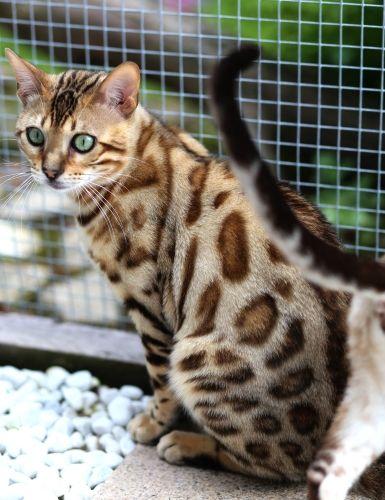 Bengalen Mit Bildern Katzen Bengal Katzchen Abessinier Katze