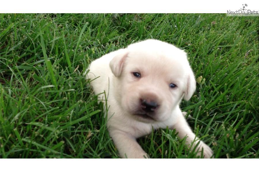 Labrador retriever for sale dog breeds dogs labrador