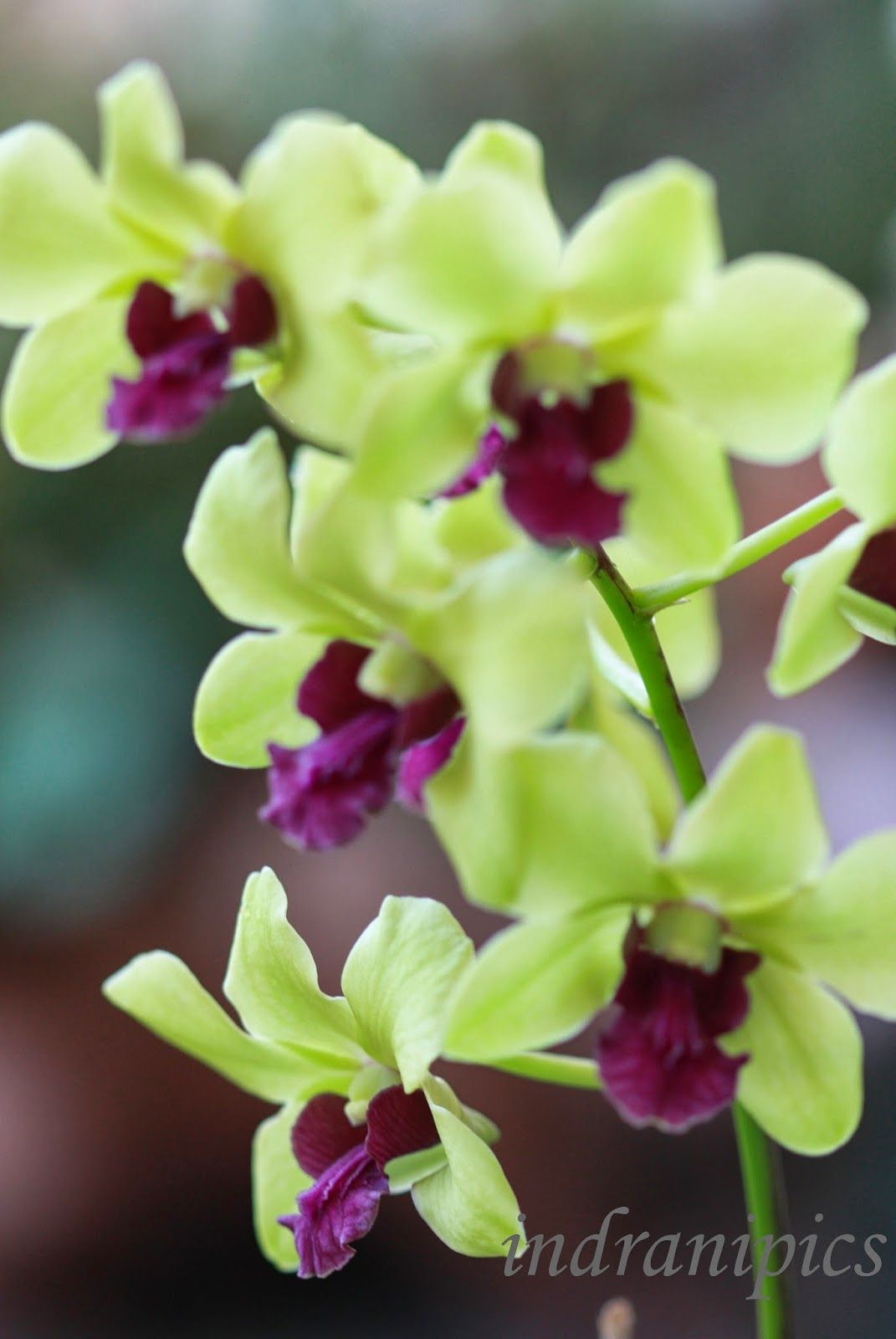 Yellow Green Dendrobium I Share Dendrobium Orchids Orchids Balcony Garden