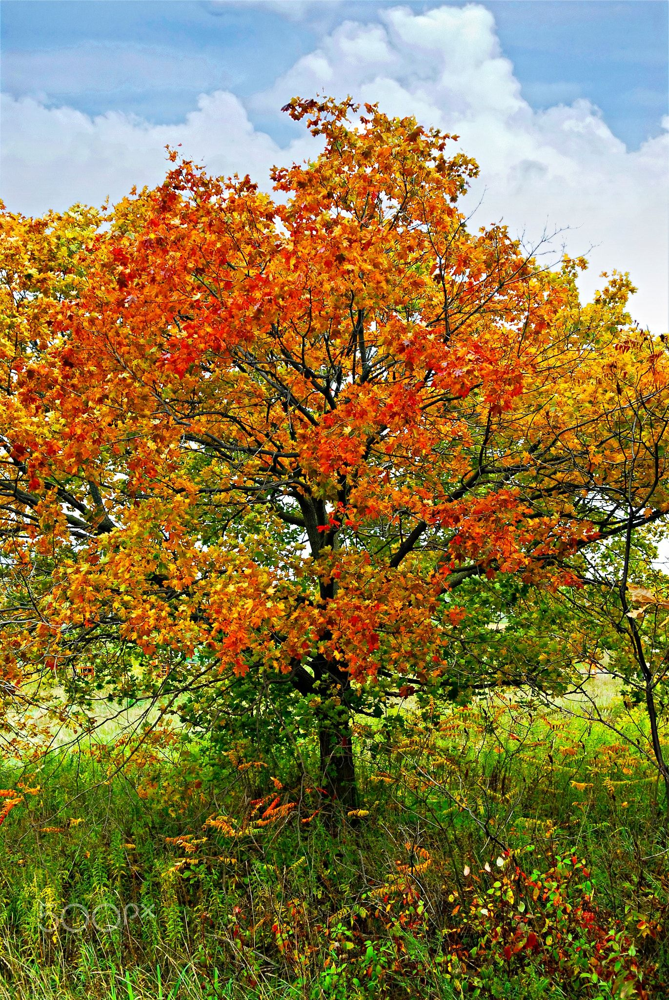 Autumn Maple Tree Beautiful Maple Tree With Red Foliage In Early Fall Summer Trees Autumn Trees Maple Tree