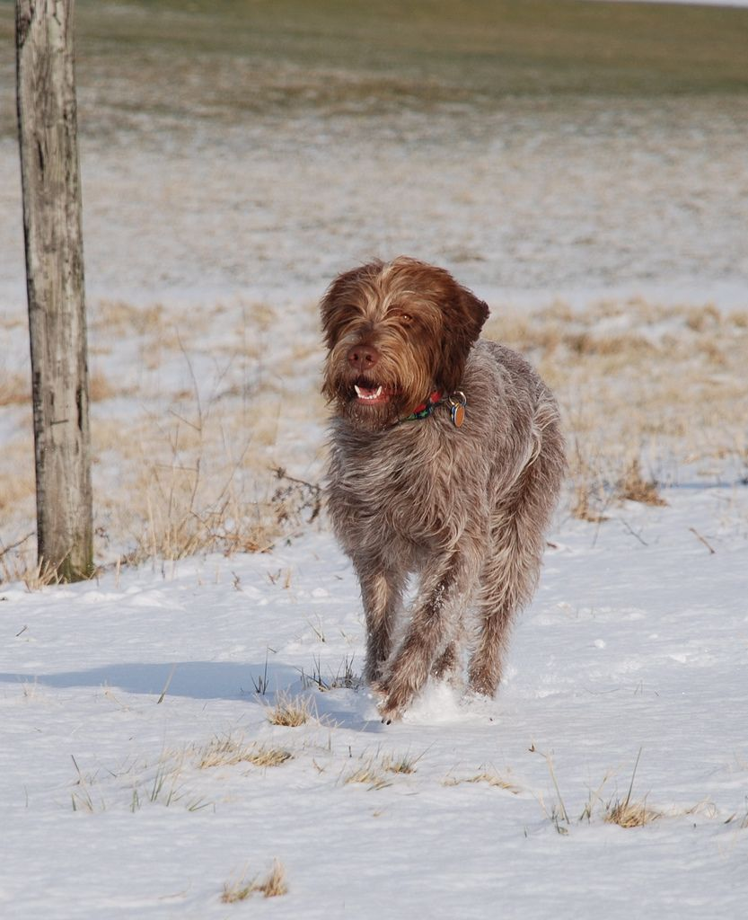 Dsc_0097 cute animal pictures hunting dogs wirehaired