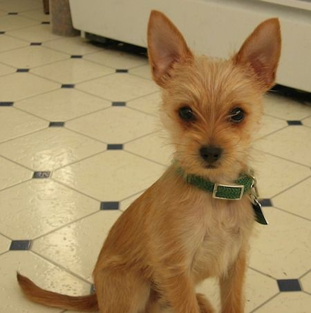 Chico The Tan Chorkie Is Wearing A Green Collar While Sitting On A Tiled Floor And Chihuahua Mix Puppies Yorkie Chihuahua Mix Puppies