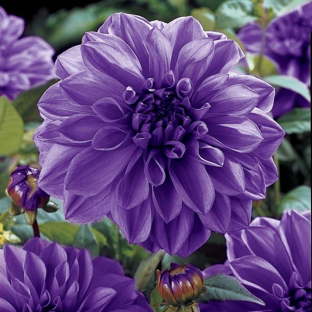 Dahlia blue boy purple flowers purple dahlia dahlia