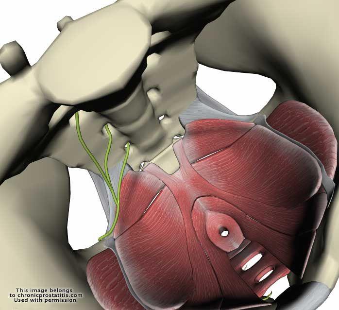 Anatómia Prostati A prosztatitis gyertyái egyszerűek