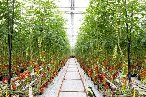 Dream tomato farm