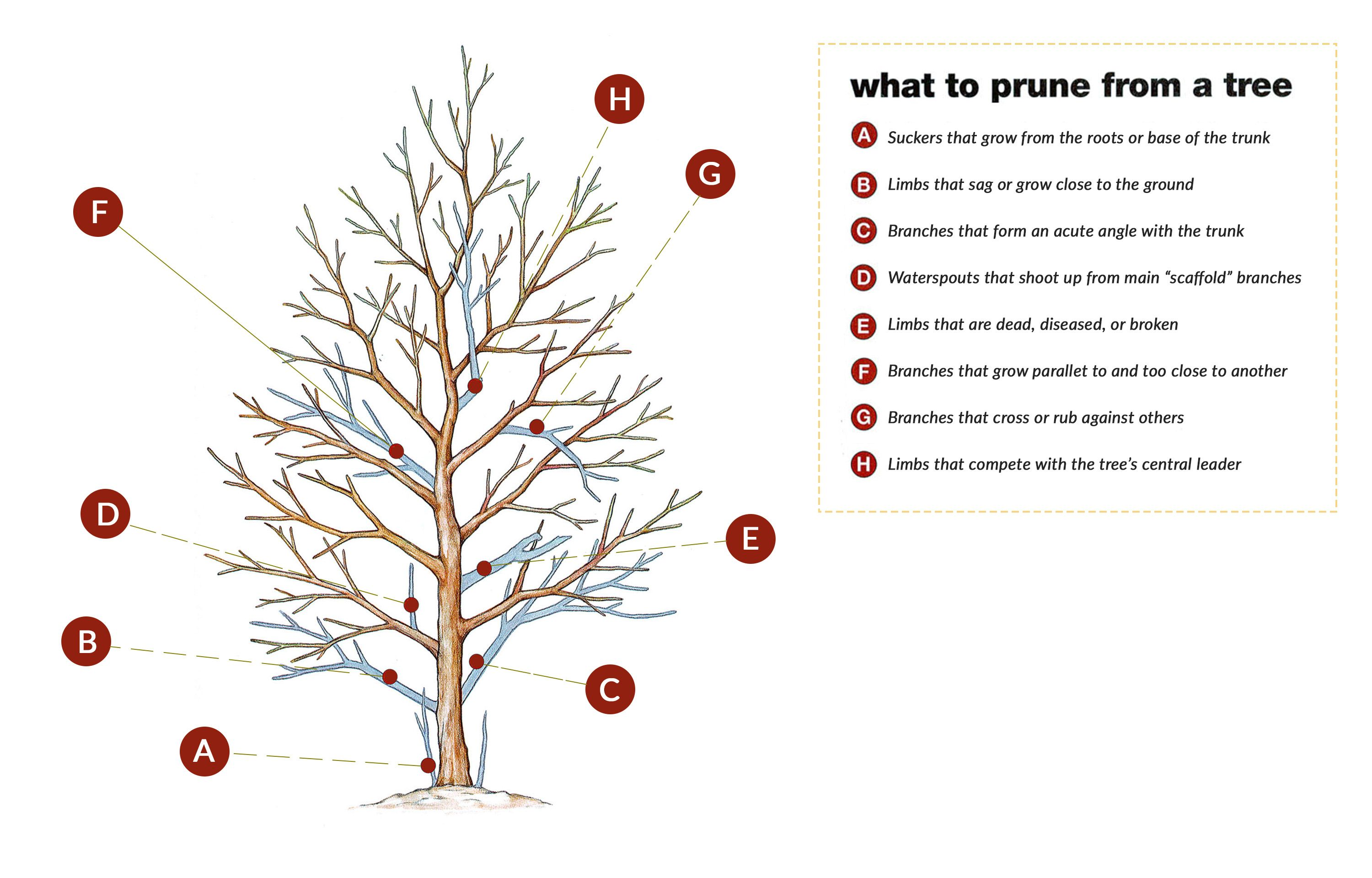 How To Prune Small Trees And Shrubs Small Trees How To Trim Bushes Crabapple Tree