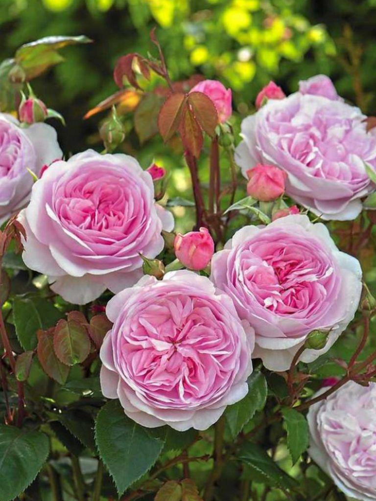 The OLIVIA Rose Austin Beautiful English