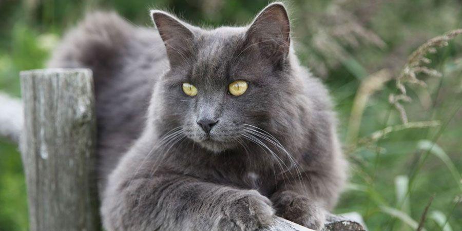 Nebelung Price Personality Lifespan Nebelung Cat Russian