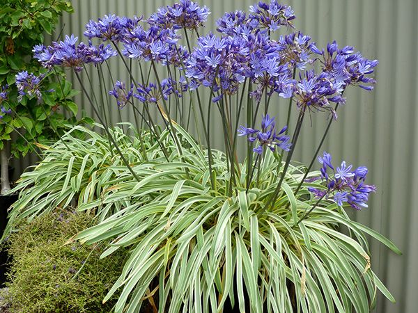 Agapanthus Gold Strike Pbr African Lily Agapanthus Plant Agapanthus Perennial Plants
