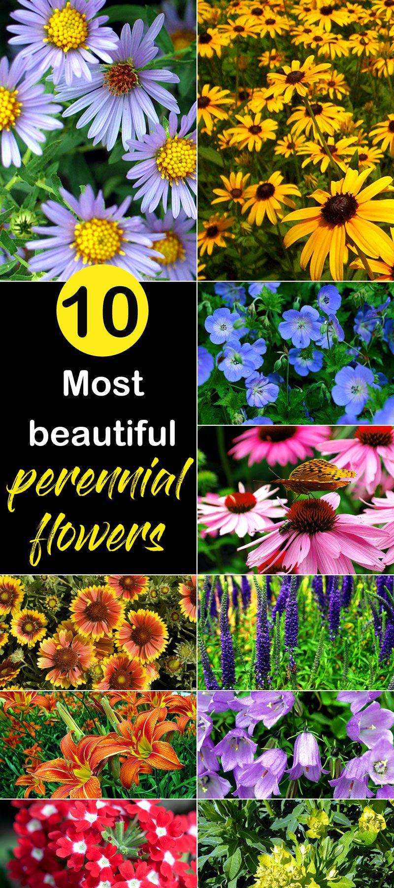 10 Most Beautiful Perennial Flowers Flowering Plants Pinterest