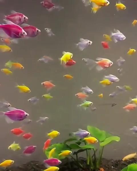 How Many Glofish In A 10 Gallon Tank Stocking Guide Video Video Glofish Aquarium Glofish Tank Glofish
