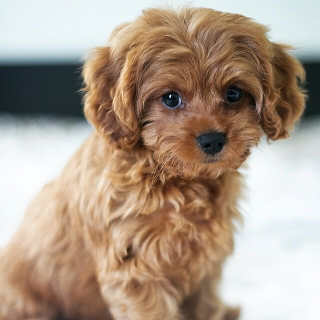 Cavapoo Puppy Cavoodle Poodle Cavalier King Charles Spaniel Puppy Cute Dog Teddybear Puppy Poodle Mi Cute Baby Dogs Cute Dogs Breeds Cute Cats And Dogs