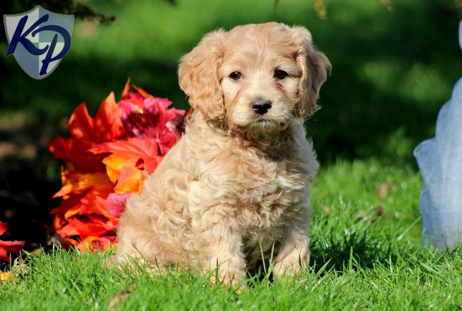 Puppy Finder Find Buy A Dog Today By Using Our Petfinder Cockapoo Puppies Cockapoo Puppies For Sale Puppies