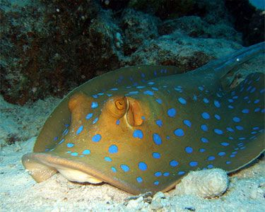 Blue spotted stingray taeniura lymma spotted in for Stingray fish tank