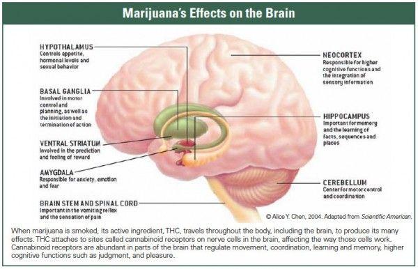 Medical effects of marijuana on the brain