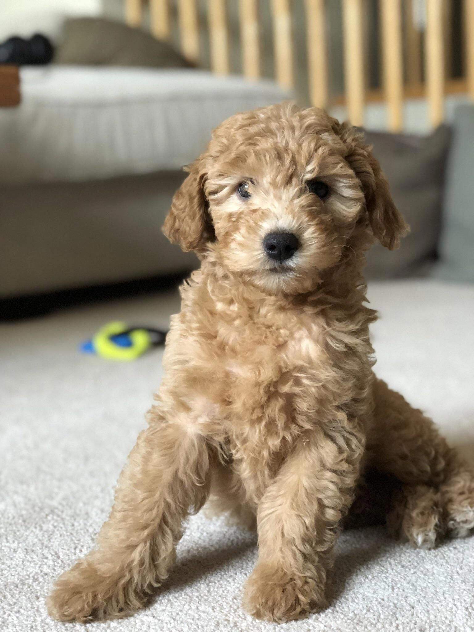 getagirlfriend Goldendoodle, Puppies, Getting a puppy