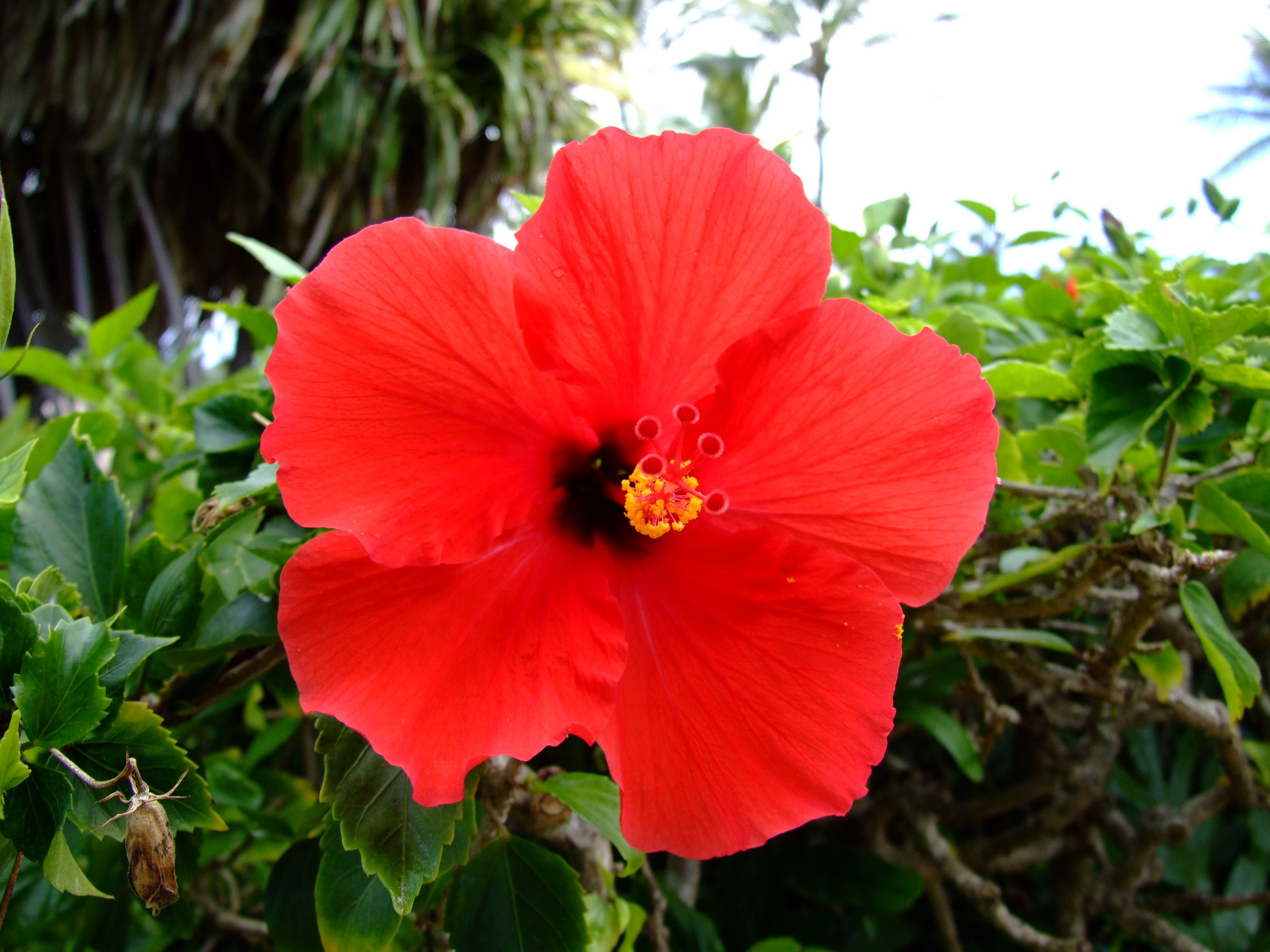 Hawaiian Red Hibiscus Flowers Pinterest Hibiscus And Flowers